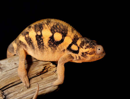 chameleon lizard: Nice colorful female chameleon lizard