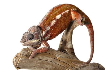 Nice colorful male chameleon lizard