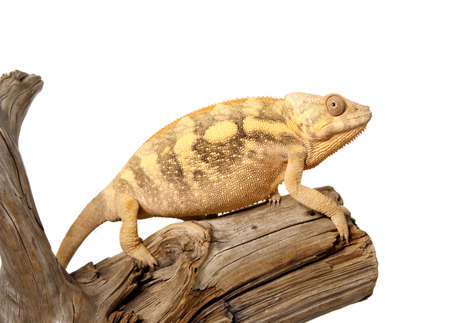 Nice colorful panthera chameleon lizard