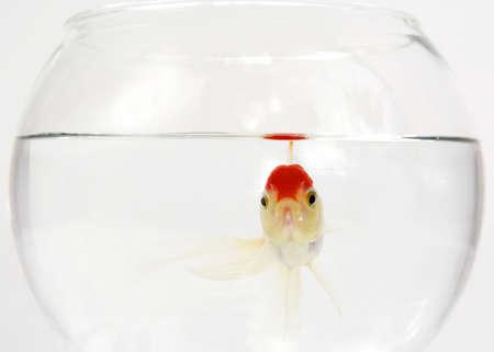 witte en rode goudvis op een bocal