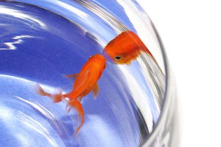 rode goudvis op een bocal Stockfoto