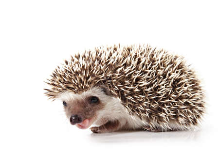 cute little hedgehog isolated on white Reklamní fotografie