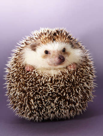 cute little hedgehog, purple background Stock Photo