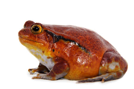 amphibia: Tomato frog (Dyscophus Antongilii) isolated on white