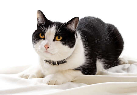 domestic: black and white domestic cat