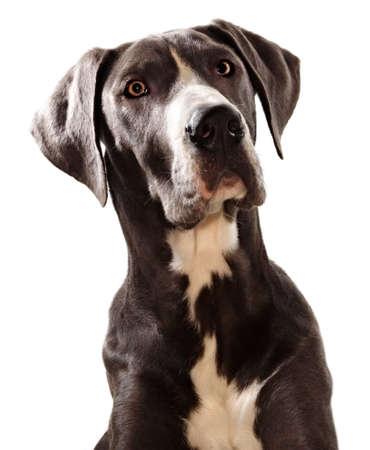 Blue Geat Danes dog photo