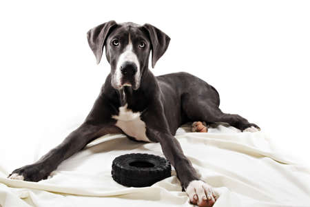 Blue Geat Danes dog Stock Photo