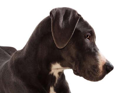 headshot of Blue Geat Danes dog isolated on white photo