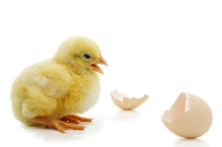 little yellow chick and egg shell isolated on white