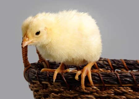 little yellow on a wicker basket Stok Fotoğraf