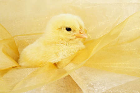 little yellow chick on bright gold fabric Stok Fotoğraf
