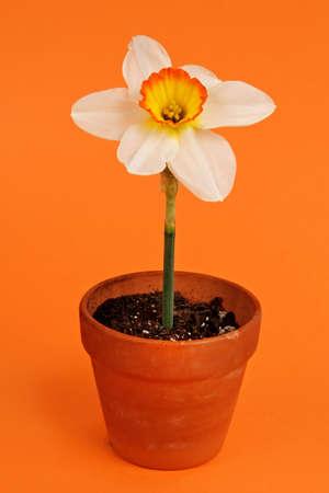 jonquil: Jonquil on flowerpot, orange background