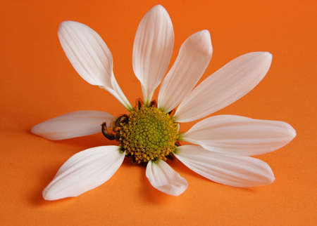 closeup on white daisy with petals missing