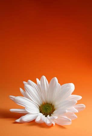 closeup on white daisy, orange background