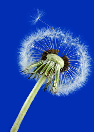 mature dandelion on blue background Stok Fotoğraf