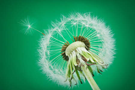 mature dandelion on green background