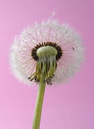 mature dandelion on pink background