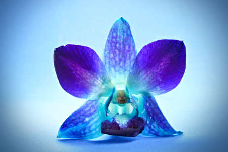 single orchid flower on blue background Reklamní fotografie - 3149174