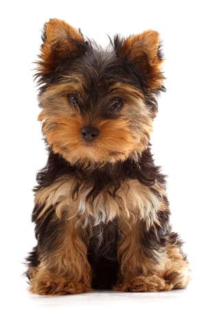 puppy yorkshire terrier Standard-Bild