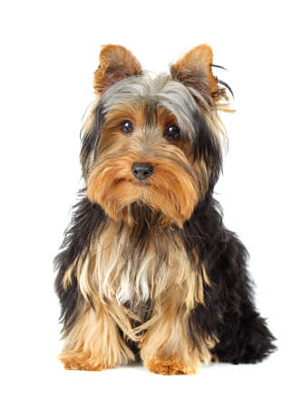 young yorkshire terrier, white background Stockfoto