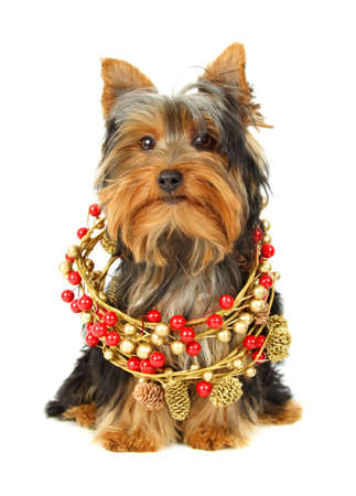 Nice young yorkie with Christmas ornament, white background