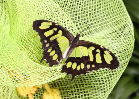 プラスチック ネット上の緑と黒の蝶