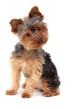 cute yorkshire terrier hond, een witte achtergrond Stockfoto
