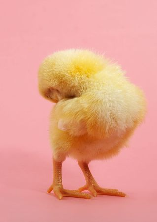 cute yellow chick , pink background