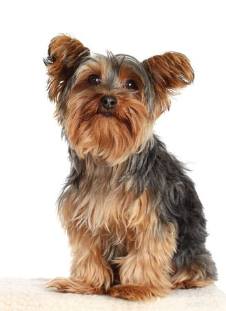 cute little yorkshire terrier dog, isolated on white
