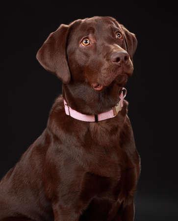 perro labrador: hermoso perro labrador de marr�n femenina  Foto de archivo