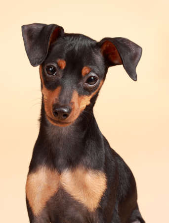 cute tiny pinscher dog, beige background photo