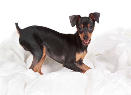 cute tiny pinscher dog, beige background