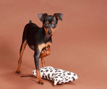 cute tiny pinscher dog, brown background photo