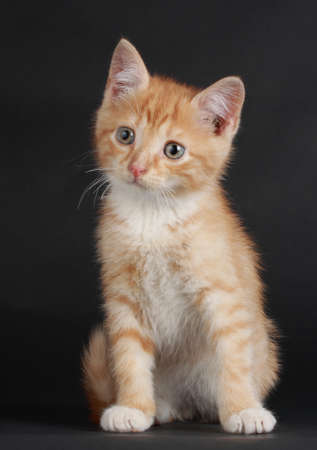 domestic: studio portrait of a cute domestic kitten