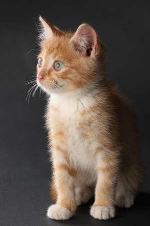studio portrait of a cute domestic kitten