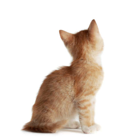 back view of cute young red kitten, isolated on white background