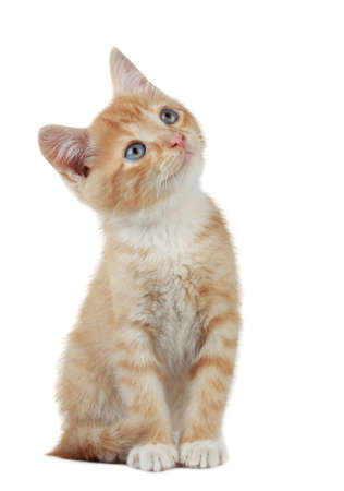 cute little red kitten looking up