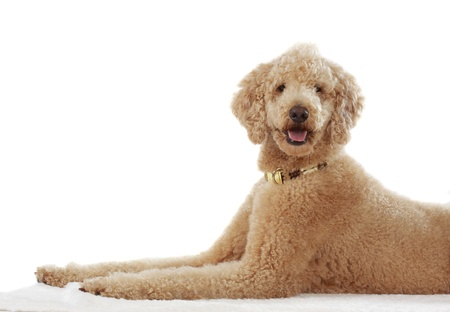 pure breed beige poodle lies down, white background
