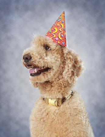 royals: cute poodle dog wearing party hat