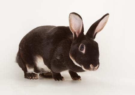 Nice black otter rabbit as rodent pet