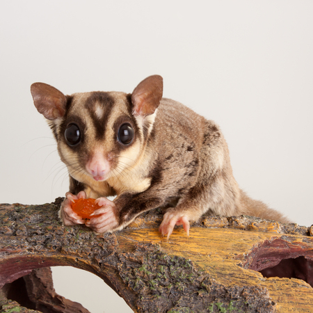 Nice Sugar glider mammal rodent pet animal