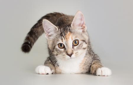 Cute kittent as a domestic animal pet portrait
