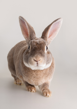 Portrait of a cute domestic light brown fur rabbit