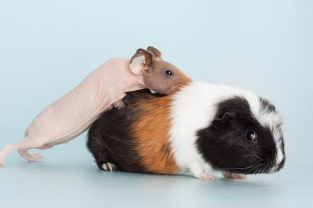 Nice naked guinea pig mammal rodent as pet animal
