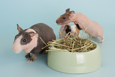 Nice guinea pig mammal rodent as pet animal
