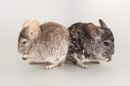 Nice grey chinchilla rodent domestic animal