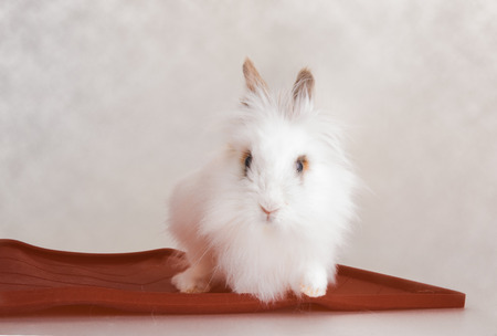 Nice long white hair rabbit as a rodent pet animal Imagens