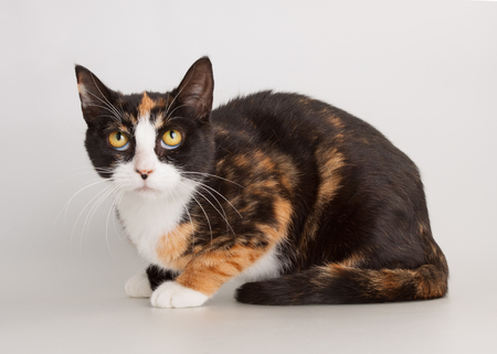 Three color full grown cat as domestic animal portrait