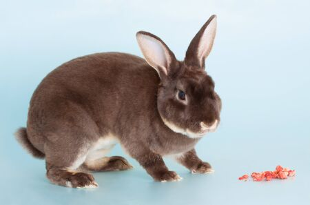 Portrait of a nice full grown brown domestic rabbit