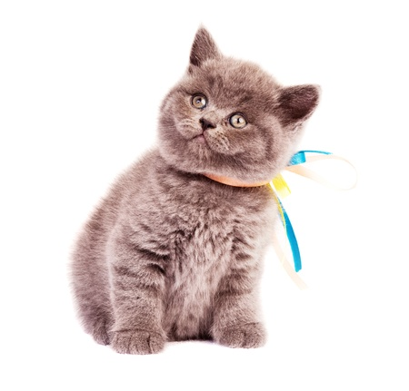 brown pussy: cute little kitten with a ribbon on the neck , isolated against white background Stock Photo